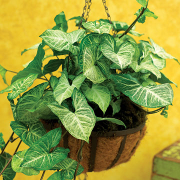 As a young plant, its leaves start out heart-shaped, and then gradually  become arrowhead shaped as it matures. Its dark-green leaves have silvery  white or ...
